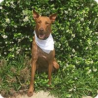 Pharaoh Hound/Hound (Unknown Type) Mix Dog for adoption in Wilwaukee, Wisconsin - KEA