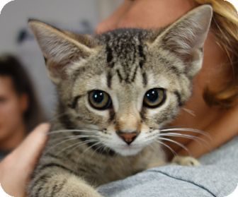 Domestic Shorthair Kitten for adoption in Greenfield, Indiana - Saffron