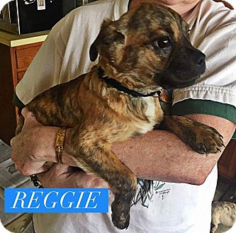 Pug/Pit Bull Terrier Mix Puppy for adoption in Winchester, Virginia - Reggie