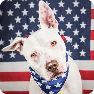 Pit Bull Terrier Mix Dog for adoption in Columbia, Illinois - Van Halen