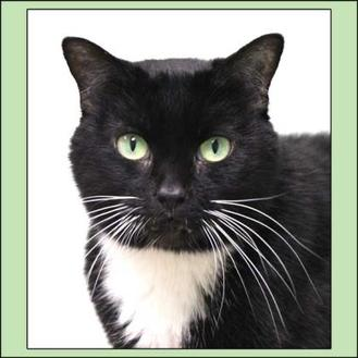 Domestic Shorthair/Domestic Shorthair Mix Cat for adoption in Batavia, Ohio - Bombay