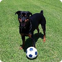 Adopt A Pet :: Greta - Gilbert, AZ