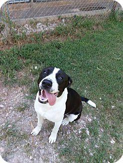 Pointer/Labrador Retriever Mix Dog for adoption in Cleveland, Oklahoma - Brady
