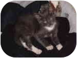 Domestic Shorthair Kitten for adoption in Tampa, Florida - Chance