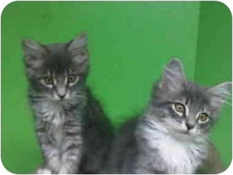 Domestic Longhair Kitten for adoption in Medford, Massachusetts - Grey Kittens