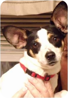 Rat Terrier Dog for adoption in Newburgh, Indiana - Lilly