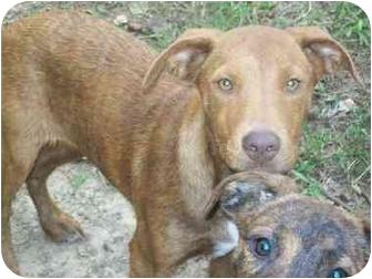 Hound (Unknown Type)/Plott Hound Mix Puppy for adoption in Harrisonburg, Virginia - Qianna Holiday Special