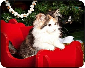 Calico Kitten for adoption in Owensboro, Kentucky - Lacy
