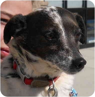 Jack Russell Terrier/Catahoula Leopard Dog Mix Dog for adoption in Lincolnton, North Carolina - Sprinkle
