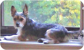 Terrier (Unknown Type, Small) Mix Dog for adoption in Mt. Prospect, Illinois - Hank