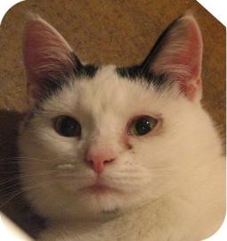 Domestic Shorthair Cat for adoption in Ithaca, New York - Kesha 13733-c