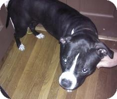 Pit Bull Terrier Mix Puppy for adoption in Medford, Massachusetts - Lola