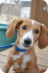 Dachshund/Chihuahua Mix Puppy for adoption in Stillwater, Oklahoma - Cammie