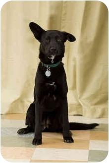 Labrador Retriever/Basenji Mix Dog for adoption in Portland, Oregon - Katie