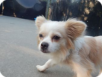 Papillon Mix Dog for adoption in West Deptford, New Jersey - Lulu
