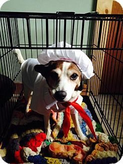 Jack Russell Terrier Dog for adoption in Grand Rapids, Michigan - Sadie