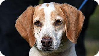 Beagle Dog for adoption in New Haven, Connecticut - REGINA