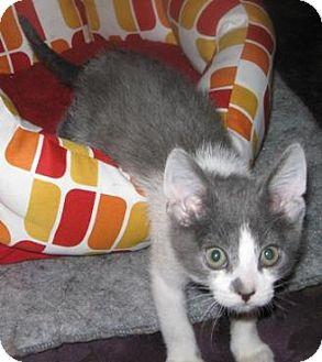 Domestic Shorthair Kitten for adoption in Sacramento, California - Peter