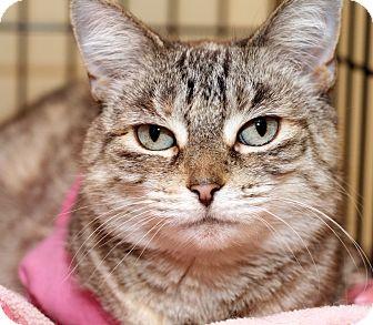 Domestic Shorthair Cat for adoption in Royal Oak, Michigan - CLEO