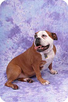English Bulldog Dog for adoption in Decatur, Illinois - Memphis