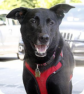 Shepherd (Unknown Type) Mix Dog for adoption in Richmond, Virginia - Blair