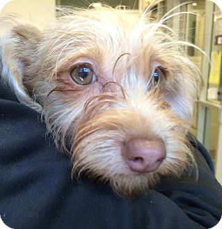 Cairn Terrier/Chihuahua Mix Dog for adoption in Emeryville, California - BILLIE