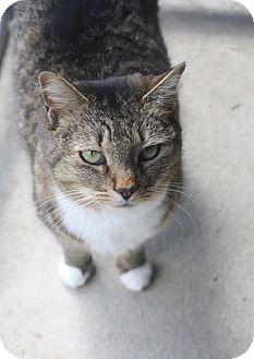Domestic Shorthair Cat for adoption in Darlington, South Carolina - Suzanna