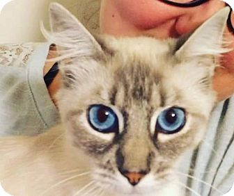 Domestic Mediumhair Cat for adoption in Woodland, California - Phoebe