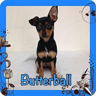 Miniature Pinscher Puppy for adoption in Pahrump, Nevada - Butterball