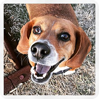 Beagle Dog for adoption in Knoxville, Tennessee - Chubs