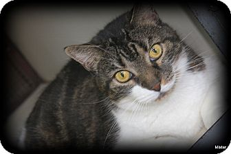 Domestic Shorthair Cat for adoption in O Fallon, Illinois - Roxanne