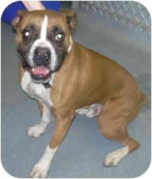Boxer Dog for adoption in West Warwick, Rhode Island - Buddy