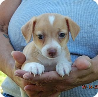 Terrier (Unknown Type, Small)/Corgi Mix Puppy for adoption in Burlington, Vermont - Tallulah (2 lb) Video!