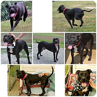 Boxer/American Pit Bull Terrier Mix Dog for adoption in Indiana, Pennsylvania - SPIKE