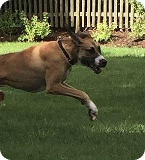 Great Dane Dog for adoption in Springfield, Illinois - Bane