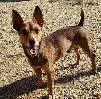 Chihuahua Mix Dog for adoption in Glenwood, Georgia - Skippy