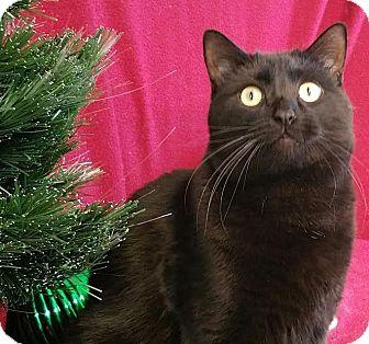 Domestic Shorthair Cat for adoption in Colfax, Iowa - Herschel