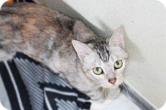 Domestic Shorthair Cat for adoption in Covington, Louisiana - Snowy