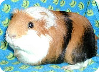 Guinea Pig for adoption in Highland, Indiana - Robin