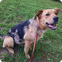 Catahoula Leopard Dog/German Shepherd Dog Mix Dog for adoption in Foster, Rhode Island - Viola