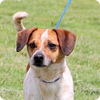 Adopt A Pet :: Rusty~ 18 lbs of <3 ~ meet me! - Glastonbury, CT
