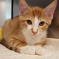 Domestic Shorthair/Domestic Shorthair Mix Cat for adoption in Pompano Beach, Florida - Dorian