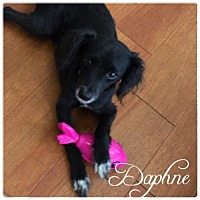 Poodle (Miniature)/Papillon Mix Dog for adoption in Hope, British Columbia - Daphne