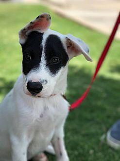 Labrador Retriever/Australian Cattle Dog Mix Puppy for adoption in Wichita Falls, Texas - Butch Cassidy