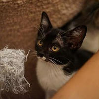 Adopt A Pet :: Kitsa - Orlando, FL