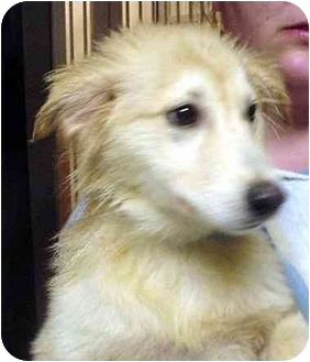 Golden Retriever Mix Puppy for adoption in Manassas, Virginia - Monoply