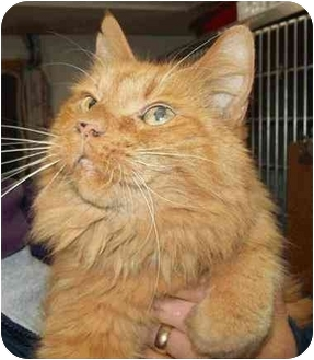 Domestic Longhair Cat for adoption in Lake Linden, Michigan - Penny