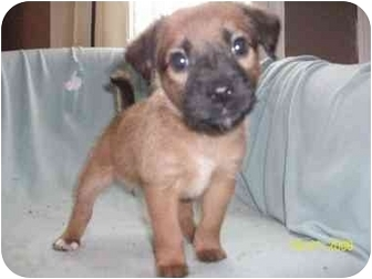 American Staffordshire Terrier/Labrador Retriever Mix Puppy for adoption in Plainfield, Illinois - Morgan
