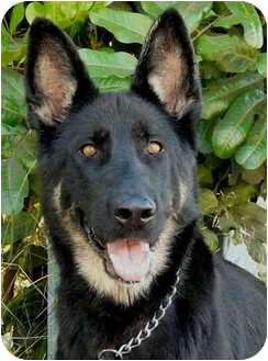 German Shepherd Dog Dog for adoption in Los Angeles, California - Brandy von Beckerstein
