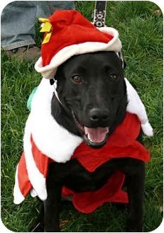 Labrador Retriever/Border Collie Mix Dog for adoption in Sacramento, California - Odi water pup